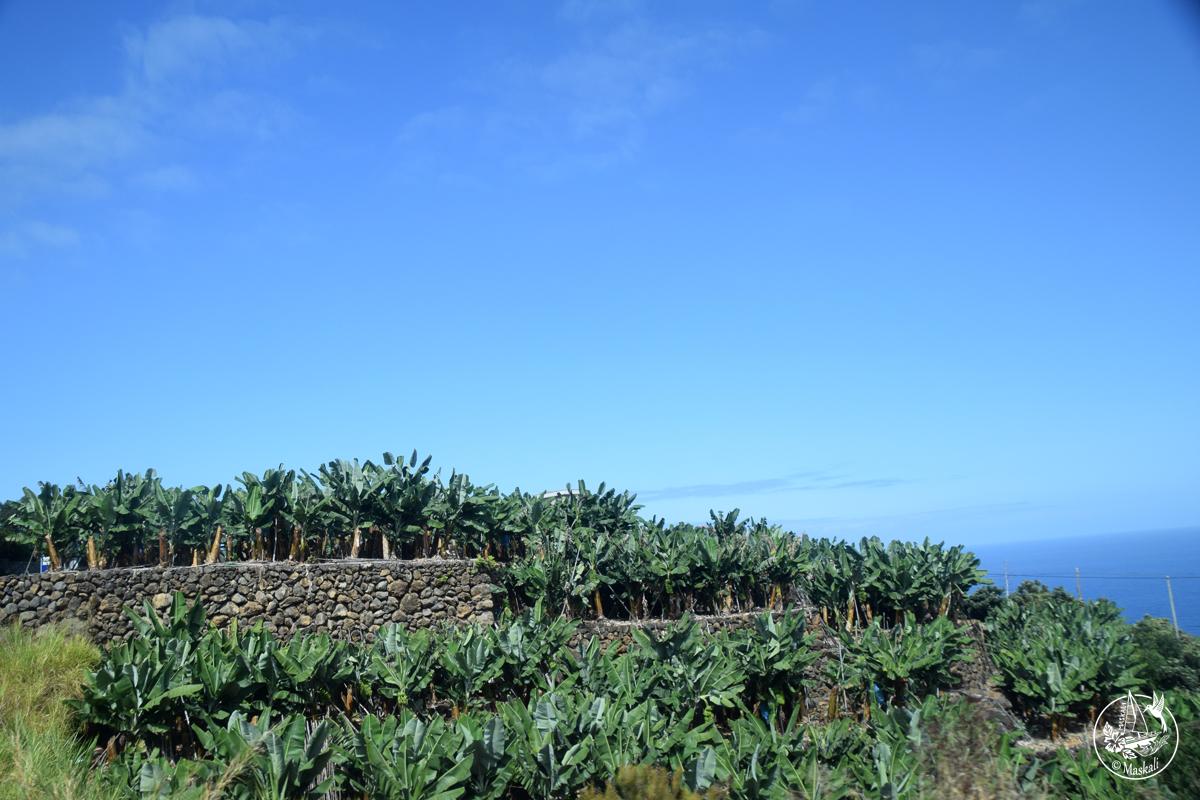 La Palma - bananeraies