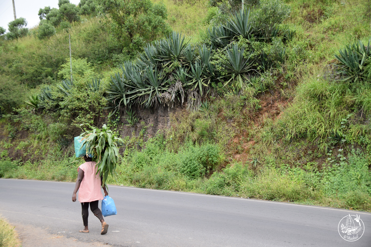 Fardeau de maïs sur l'île de Santiago
