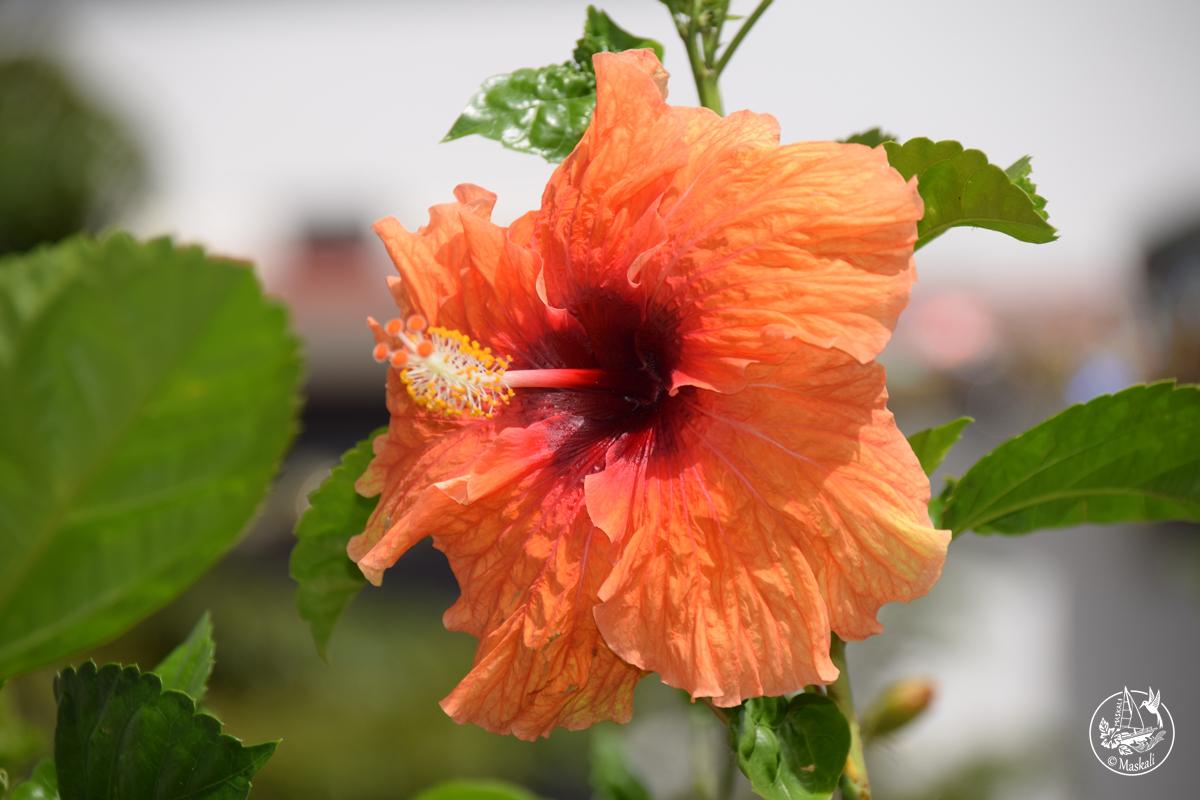 Martinique - hibiscus