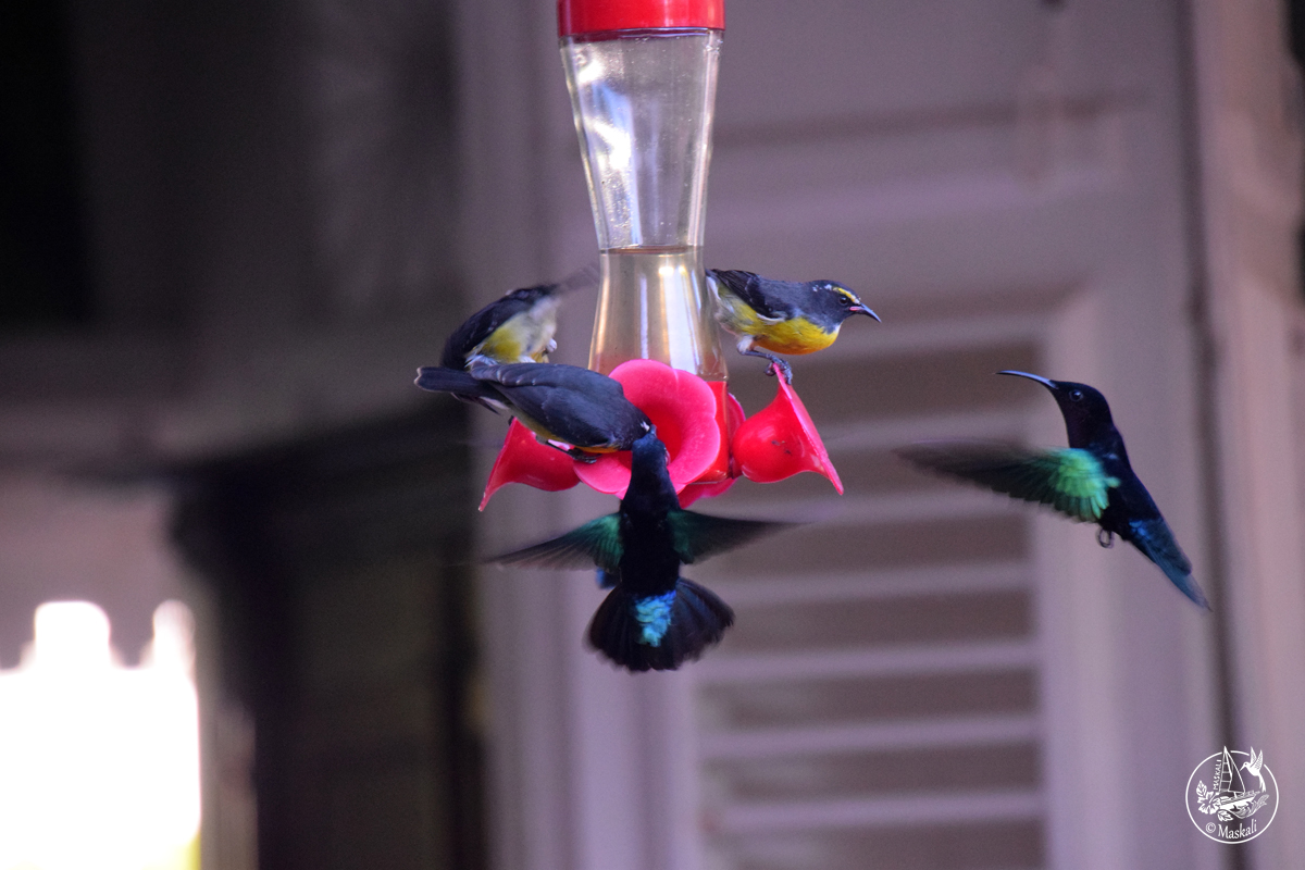 Martinique - colibris et sucriers