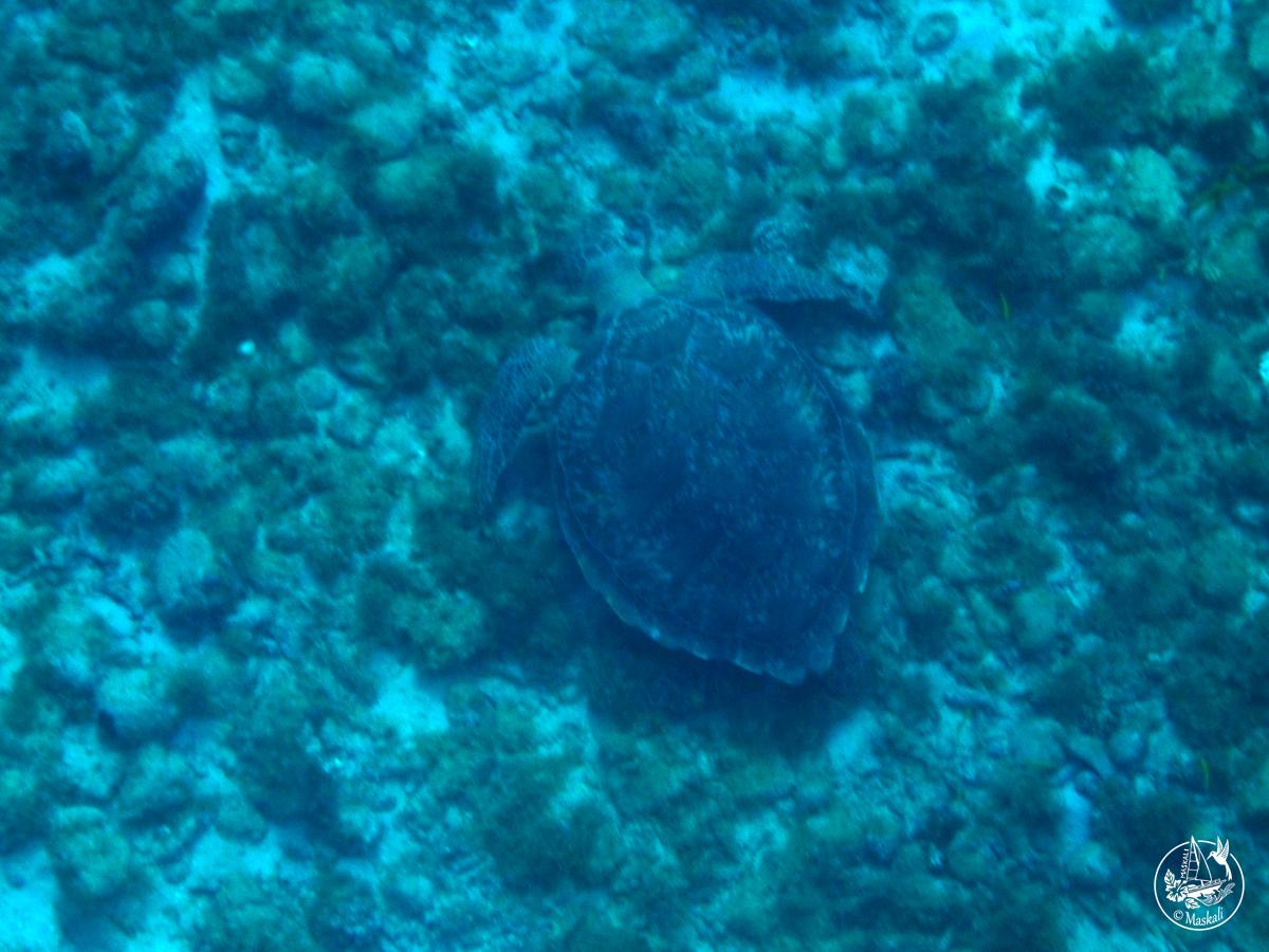 La première tortue photographiée par Eléa !