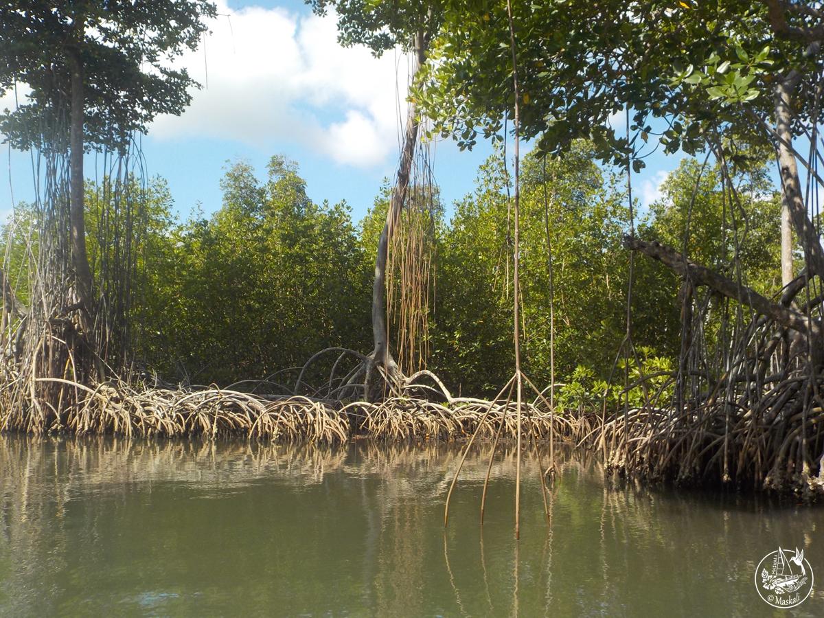 Ballade dans la mangrove.