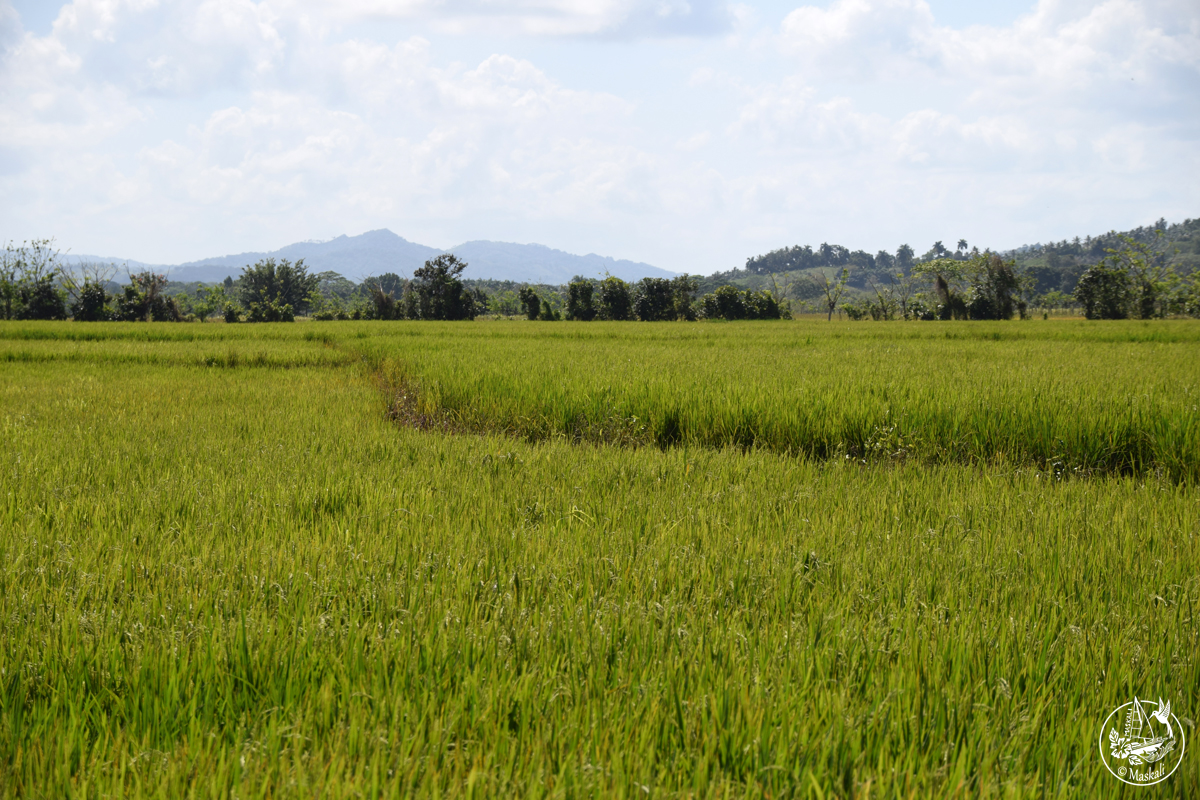 Changement de paysage : une rizière.
